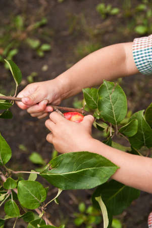 Closeup of a childs hands picking a red appple from a tree Stock Photo