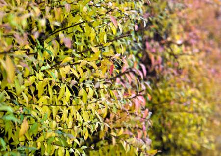 Closeup of a hedge with colorful fall foliage Stock Photo