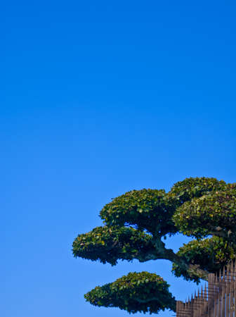 Japanese topiary tree on blue sky portrait Stock Photo