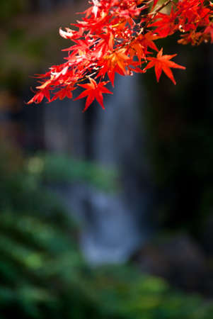Red Japanese maple leaves against a waterfall background Stock Photo