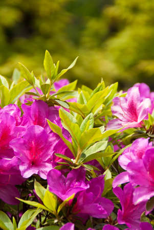 Closeup of a Japanese pink azalea bush