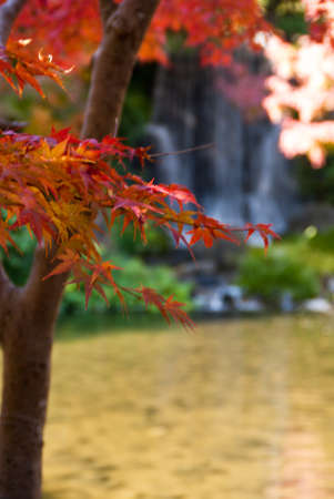 Colorful japanese maple tree with waterfall in background