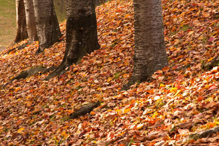 Receding tree trunks against a background of colorful fallen fall leaves