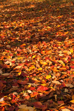 A background of colorful fallen fall leaves
