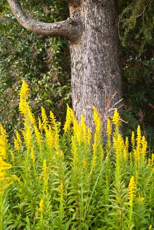 Yellow flowers against a tree trunk Stock Photo