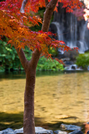 Red Japanese maple with waterfall in background