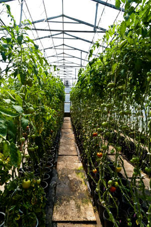 hothouse: Tomatoes grow on the vine in a hothouse Stock Photo