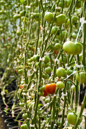 Tomatoes ripen on the vine in a hothouse Stock Photo