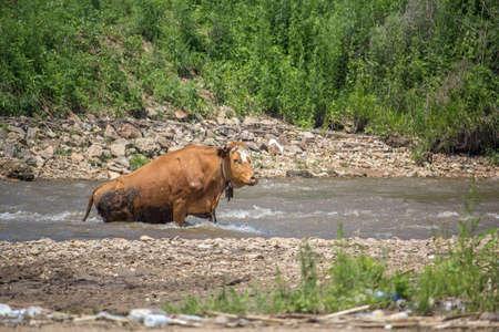 across: cattle across the river