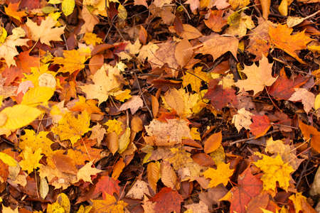 A closeup of some yellow, orange, and red maple leaves along with a few beech leaves on the ground in the woods during the fall season.