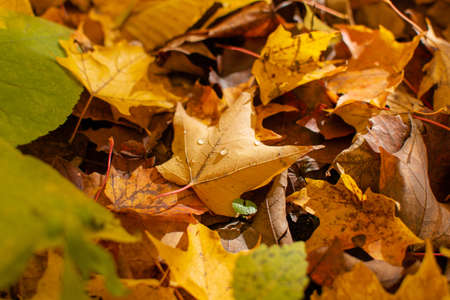 A closeup of a yellow maple leaf with dew drops on top of other fallen fall leaves on a sunny fall day in the woods.