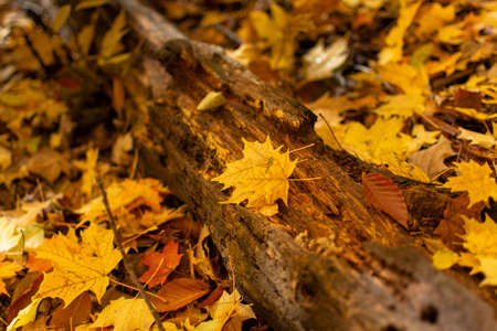 A closeup of a rotted log laying on the ground in the woods with yellow maple and brown beech leaves.