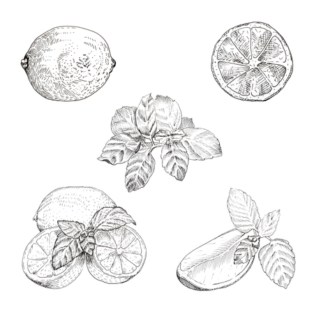 mint leaves: Lime and mint ink sketch set. Isolated design elements