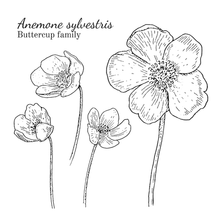 buttercup  decorative: Anemone sylvestris flowerrs sketches set. Crowfoot family. Engraving botanical style. Isolated. Illustration