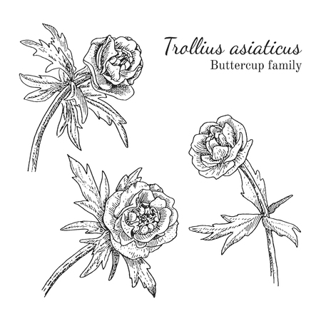 Trollius asiaticus flowerrs sketches set. Crowfoot family. Engraving botanical style. Isolated. Illustration
