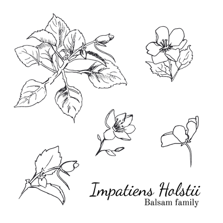 balsam: Busy Lizzy parts of plant sketches set. Balsam family. Impatiens Holstii.