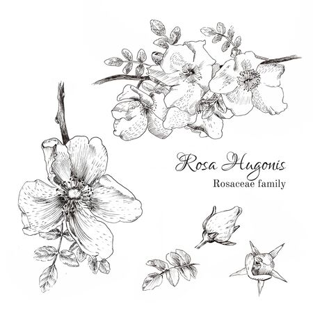 rosaceae: Rosa Hugonis ink sketch. Dog-rose. Isolated. Hand drawn outline style.