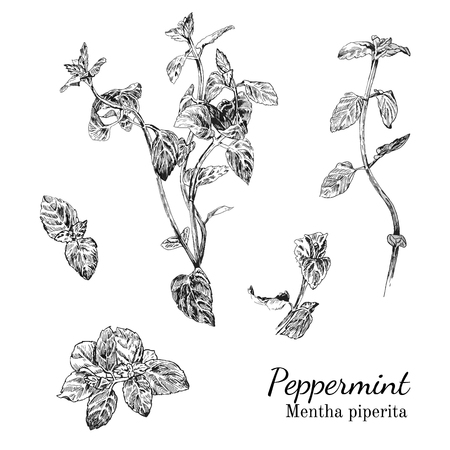 Hand drawn peppernint ink sketch set. Isolated plants. Çizim