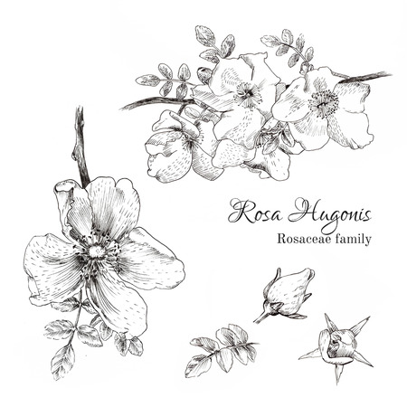 Rosa Hugonis ink sketch. Dog-rose. Isolated. Hand drawn outline style.