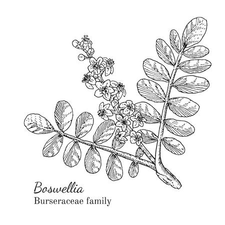 Inkt Boswellia kruiden illustratie. Hand getrokken botanische schets stijl. Absoluut vector. Goed voor het gebruik in verpakkingen - thee, condinent, olie etc - en andere toepassingen