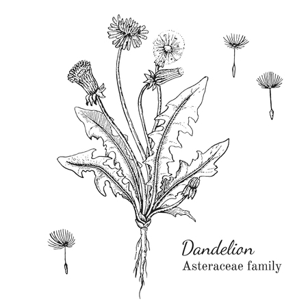 Ink dandelion herbal illustration. Hand drawn botanical sketch style. Absolutely vector. Good for using in packaging - tea, condinent, oil etc - and other applications Vectores