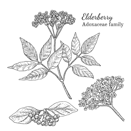 Ink elderberry herbal illustration. Hand drawn botanical sketch style. Absolutely vector. Good for using in packaging - tea, condinent, oil etc - and other applications Stok Fotoğraf - 67481699
