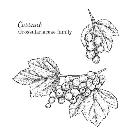 Ink currant herbal illustration. Hand drawn botanical sketch style. Absolutely vector. Good for using in packaging - tea, condinent, oil etc - and other applications