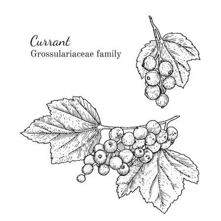 Inkt bessen kruiden illustratie. Hand getrokken botanische schets stijl. Absoluut vector. Goed voor het gebruik in verpakkingen - thee, condinent, olie etc - en andere toepassingen