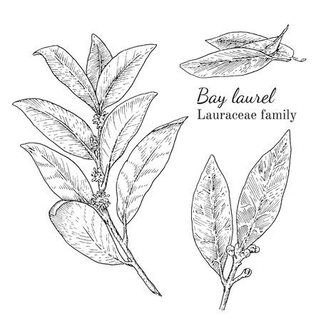 Inkt bay laurier kruiden illustratie. Hand getekende botanische schetsstijl. Absoluut vector. Goed voor gebruik in verpakkingen - thee, condinent, olie, enz. - en andere toepassingen