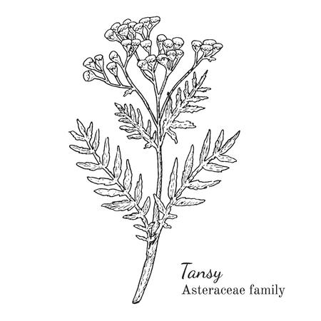 Inkt boerenwormkruid kruiden illustratie. Hand getrokken botanische schets stijl. Absoluut vector. Goed voor het gebruik in verpakkingen - thee, condinent, olie etc - en andere toepassingen Stock Illustratie