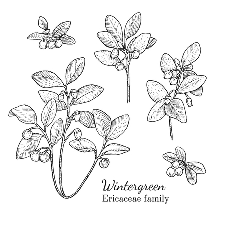 Ink wintergreen herbal illustration. Hand drawn botanical sketch style. Absolutely vector. Good for using in packaging - tea, condinent, oil etc - and other applications