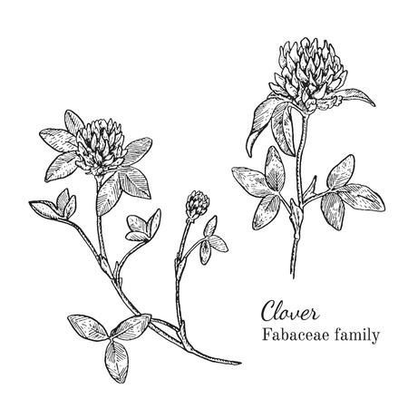 Inkt klaver kruiden illustratie. Hand getrokken botanische schets stijl. Absoluut vector. Goed voor het gebruik in verpakkingen - thee, condinent, olie etc - en andere toepassingen Stock Illustratie