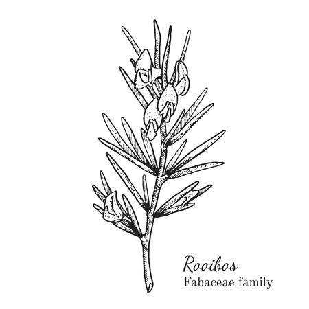 Inkt rooibos kruiden illustratie. Hand getrokken botanische schetsstijl. Absoluut vector. Goed voor gebruik in verpakkingen - thee, geschikt, olie enz. - en andere toepassingen Stock Illustratie