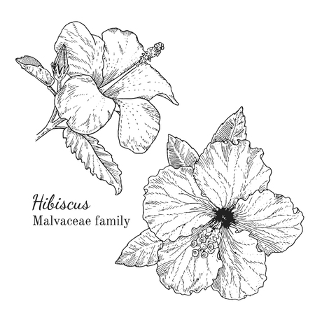 Ink hibiscus herbal illustration. Hand drawn botanical sketch style. Absolutely vector. Good for using in packaging - tea, condinent, oil etc - and other applications