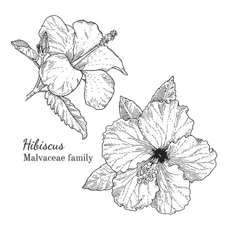 Inkt hibiscus kruiden illustratie. Hand getekende botanische schetsstijl. Absoluut vector. Goed voor gebruik in verpakkingen - thee, condinent, olie, enz. - en andere toepassingen