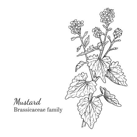インク マスタード ハーブ イラスト。手描き植物スケッチ スタイル。絶対にベクトル。茶、condinent、オイルなど、他のアプリケーション パッケージ