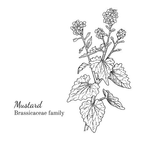 Ink mustard herbal illustration. Hand drawn botanical sketch style. Absolutely vector. Good for using in packaging - tea, condinent, oil etc - and other applications