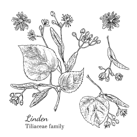 Inkt linden kruiden illustratie. Hand getrokken botanische schetsstijl. Absoluut vector. Goed voor gebruik in verpakkingen - thee, geschikt, olie enz. - en andere toepassingen Stock Illustratie