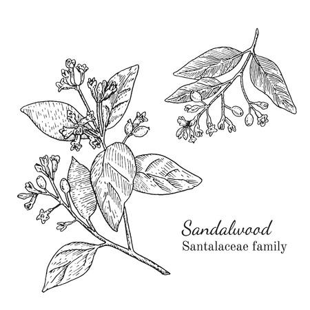 Inkt sandalwood kruiden illustratie. Hand getekende botanische schetsstijl. Absoluut vector. Goed voor gebruik in verpakkingen - thee, condinent, olie, enz. - en andere toepassingen Stockfoto