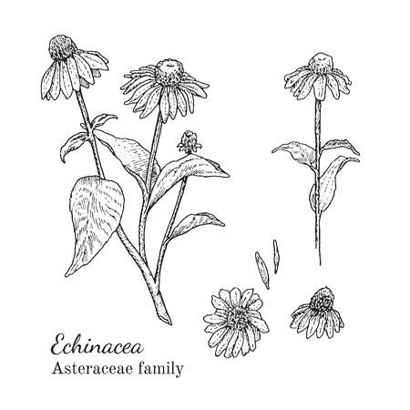 Inkt echinacea kruiden illustratie. Hand getrokken botanische schets stijl. Absoluut vector. Goed voor het gebruik in verpakkingen - thee, condinent, olie etc - en andere toepassingen