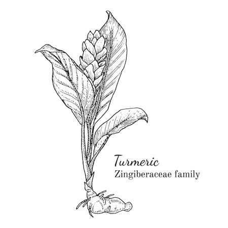 Inkt kurkuma kruiden illustratie. Hand getrokken botanische schets stijl. Absoluut vector. Goed voor het gebruik in verpakkingen - thee, condinent, olie etc - en andere toepassingen Stock Illustratie