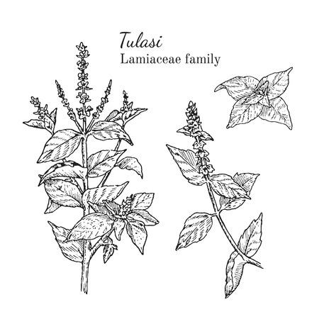 Inkt tulasi kruiden illustratie. Hand getrokken botanische schets stijl. Absoluut vector. Goed voor het gebruik in verpakkingen - thee, condinent, olie etc - en andere toepassingen