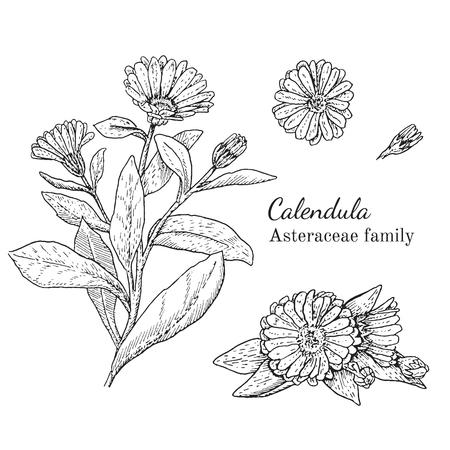 Inkt calendula kruiden illustratie. Hand getrokken botanische schets stijl. Absoluut vector. Goed voor het gebruik in verpakkingen - thee, condinent, olie etc - en andere toepassingen