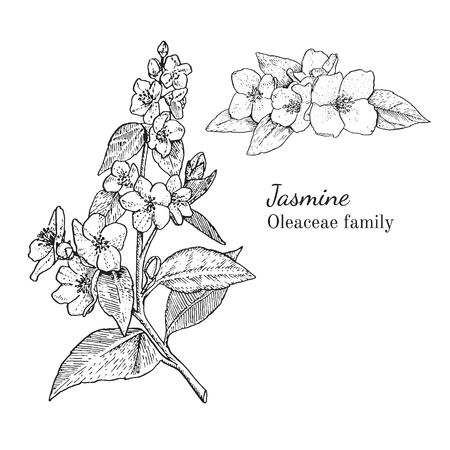 Inkt jasmijn kruiden illustratie. Hand getrokken botanische schetsstijl. Absoluut vector. Goed voor gebruik in verpakkingen - thee, geschikt, olie enz. - en andere toepassingen