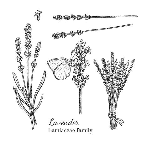 Inkt lavendel kruiden illustratie. Hand getrokken botanische schetsstijl. Absoluut vector. Goed voor gebruik in verpakkingen - thee, geschikt, olie enz. - en andere toepassingen