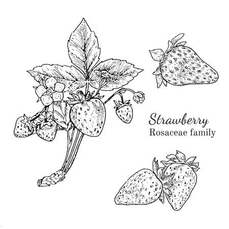 Inkt aardbeien kruiden illustratie. Hand getekende botanische schetsstijl. Absoluut vector. Goed voor gebruik in verpakkingen - thee, condinent, olie, enz. - en andere toepassingen Stock Illustratie