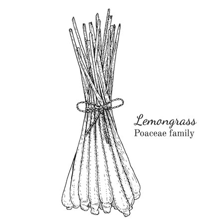 Ink lemongrass herbal illustration. Hand drawn botanical sketch style. Absolutely vector. Good for using in packaging - tea, condinent, oil etc - and other applications Çizim