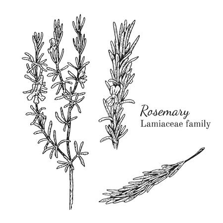 Inkt rozemarijn kruiden illustratie. Hand getrokken botanische schetsstijl. Absoluut vector. Goed voor gebruik in verpakkingen - thee, geschikt, olie enz. - en andere toepassingen