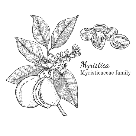 Ink nutmeg herbal illustration. Hand drawn botanical sketch style. Absolutely vector. Good for using in packaging - tea, condinent, oil etc - and other applications