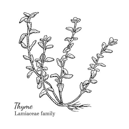 Inkt tijm kruiden illustratie. Hand getrokken botanische schets stijl. Absoluut vector. Goed voor het gebruik in verpakkingen - thee, condinent, olie etc - en andere toepassingen